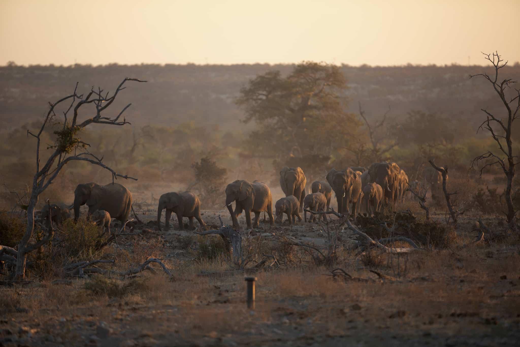 Elephants roaming in De Beers' Venetia Limpopo nature reserve